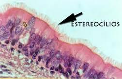 estereocilios