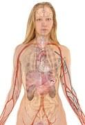 aparato circulatorio